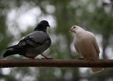 Pigeon  dove Stock Image