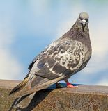 Pigeon dove Royalty Free Stock Photos