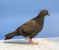 Pigeon dove Stock Photos