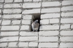 Pigeon. Dove sits in a recess of brick wall Royalty Free Stock Photos