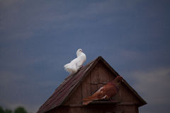 Pigeon and a dove. Stock Image