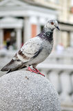 Pigeon or a Dove is standing on granite block Stock Photos