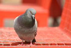 Pigeon  dove  standing on red bench, . Royalty Free Stock Photos
