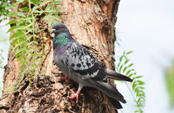 Pigeon  dove  standing on a tree, . Royalty Free Stock Photo