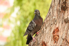 Pigeon  dove  standing on a tree, . Stock Photography