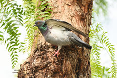 Pigeon  dove  standing on a tree, , closeup. Royalty Free Stock Photos