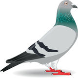 Pigeon or Dove Royalty Free Stock Photography