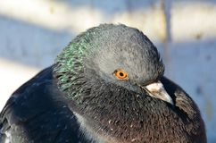 Pigeon or dove in Venice, close up, portrait Stock Photos