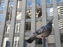 Pigeon in Downtown. With glass facade in the background Stock Photos
