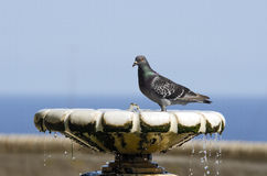 Pigeon drink from fountain Stock Photos