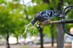 Pigeon drinking water Royalty Free Stock Photo