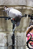 A pigeon drinking water from a fountain Stock Photo
