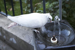 Pigeon drinking water on a hot summer day Royalty Free Stock Images