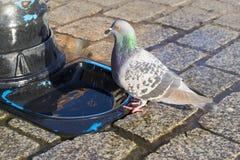 Pigeon drinking water Stock Photo