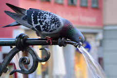 Pigeon Drinking Water On A Hot Summer Day Royalty Free Stock Image