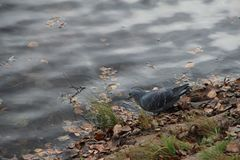 Pigeon drinking water from the pond stock images