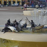 Pigeon drinking water Royalty Free Stock Images