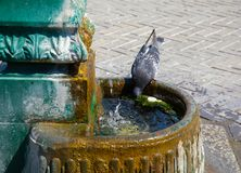 Pigeon drinking water in summer royalty free stock photography
