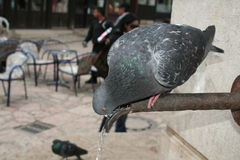 Pigeon drinking wather. From the pipe Royalty Free Stock Photography