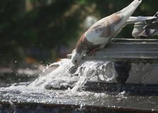 Pigeon drinks from city fountain Stock Images