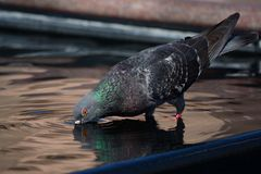 Pigeon drinks in city fountain Royalty Free Stock Images