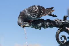 The pigeon Stock Photos