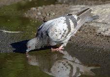 Pigeon drinks water from puddle Stock Image