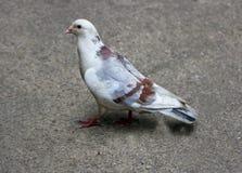 Pigeon on earth. Stock Image