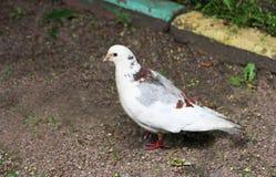 Pigeon on earth. Stock Photos