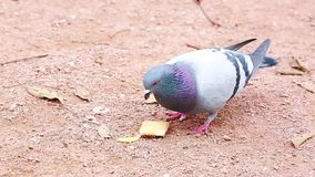 Pigeon Eating a Biscuit stock video