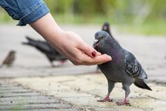 Free Pigeon Eating Grain From A Female Hand, Close-up, Horizontal Stock Photography - 183164232