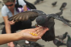 Pigeon eating from hand. A closeup of a black pigeon, wings spread out, landing on a person's hand to feed off the corn in the person's palm Stock Image