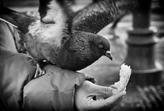 Pigeon. Eating from hand, in black n white photo Stock Photo