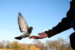 Pigeon eating from hand Royalty Free Stock Photo