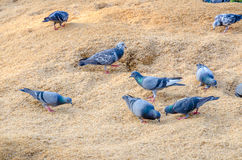 Pigeon eating paddy Stock Photography