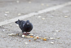 Pigeon eating peels and leftover food Stock Photography
