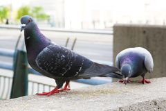 Free Pigeon Eating Seeds Stock Photography - 128313232