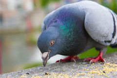 Free Pigeon Eating Seeds Royalty Free Stock Photography - 128313237