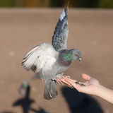 Pigeon eating seeds Royalty Free Stock Photos