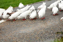Pigeon eating Royalty Free Stock Photo