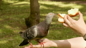 Pigeon eats the apple. Real time footage stock footage