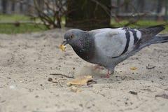Pigeon eats bread. Stock Photos