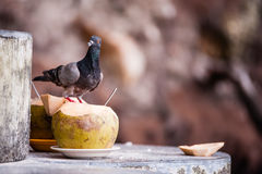 Pigeon eats coconut Royalty Free Stock Images