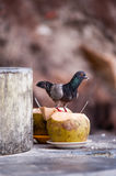 Pigeon eats coconut Stock Photo