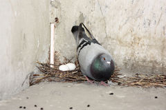 The pigeon eats the seeds next. To the nest. Photo for your design Royalty Free Stock Image