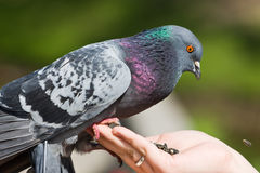 The pigeon eats sunflower seeds Royalty Free Stock Images