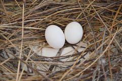 Pigeon egg on the nest Royalty Free Stock Photo