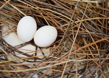 Pigeon egg on the nest Royalty Free Stock Photography
