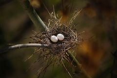 Pigeon eggs. Springtime in a bird nest Royalty Free Stock Images