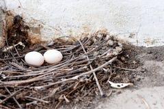 Pigeon eggs Stock Photo